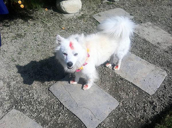 dog 2 - Nepal promove festival anual onde agradece aos cães por serem NOSSOS AMIGOS