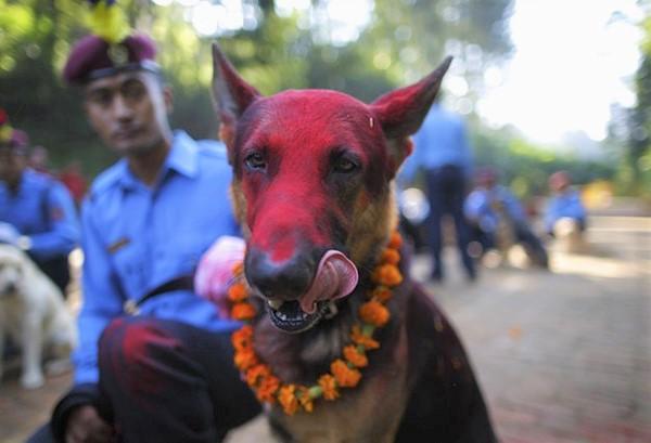 dog 3 - Nepal promove festival anual onde agradece aos cães por serem NOSSOS AMIGOS