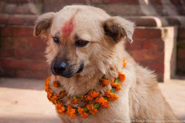 dog 5 - Nepal promove festival anual onde agradece aos cães por serem NOSSOS AMIGOS