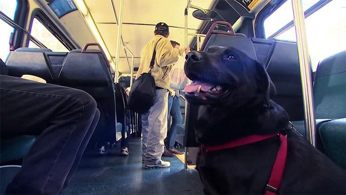 dog rides bus seattle eclipse 10 5948c8a87f62e  700 - Cachorra pega ônibus sozinha todos os dias para ir ao parque!