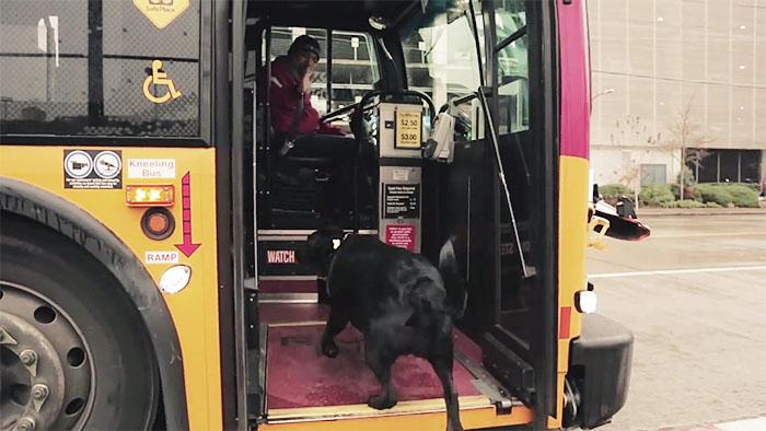 dog rides bus seattle eclipse 11 5948c8aa82ba8  700 - Cachorra pega ônibus sozinha todos os dias para ir ao parque!