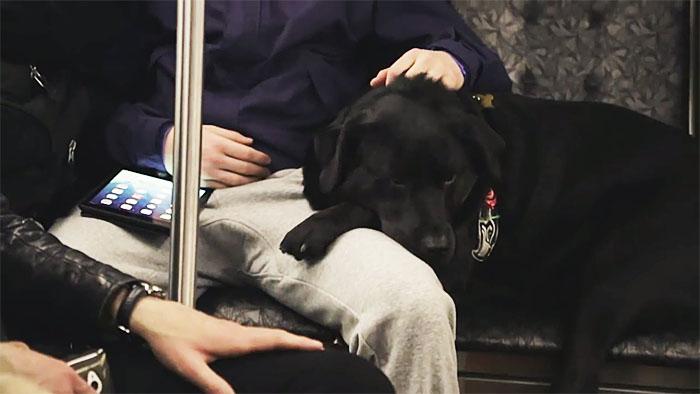 dog rides bus seattle eclipse 13 5948c8ae60b4d  700 - Cachorra pega ônibus sozinha todos os dias para ir ao parque!