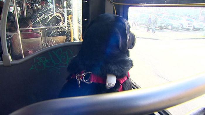 dog rides bus seattle eclipse 5948d57d296ed  700 - Cachorra pega ônibus sozinha todos os dias para ir ao parque!