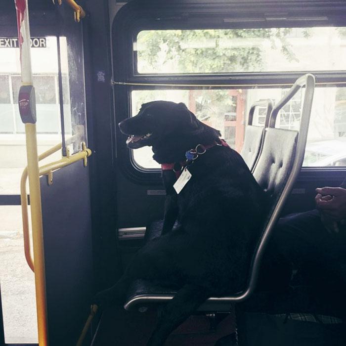 dog rides bus seattle eclipse 5948e1cee5c6f  700 - Cachorra pega ônibus sozinha todos os dias para ir ao parque!