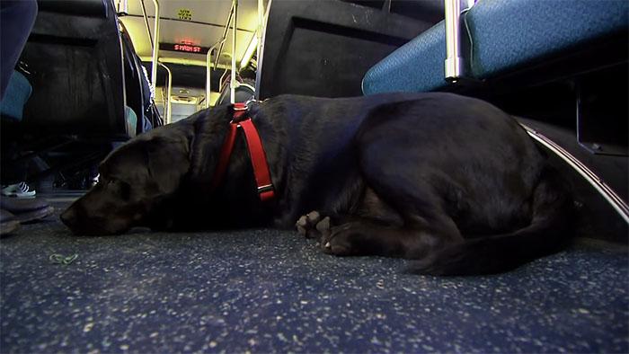 dog rides bus seattle eclipse 9 5948c8a6797e4  700 - Cachorra pega ônibus sozinha todos os dias para ir ao parque!