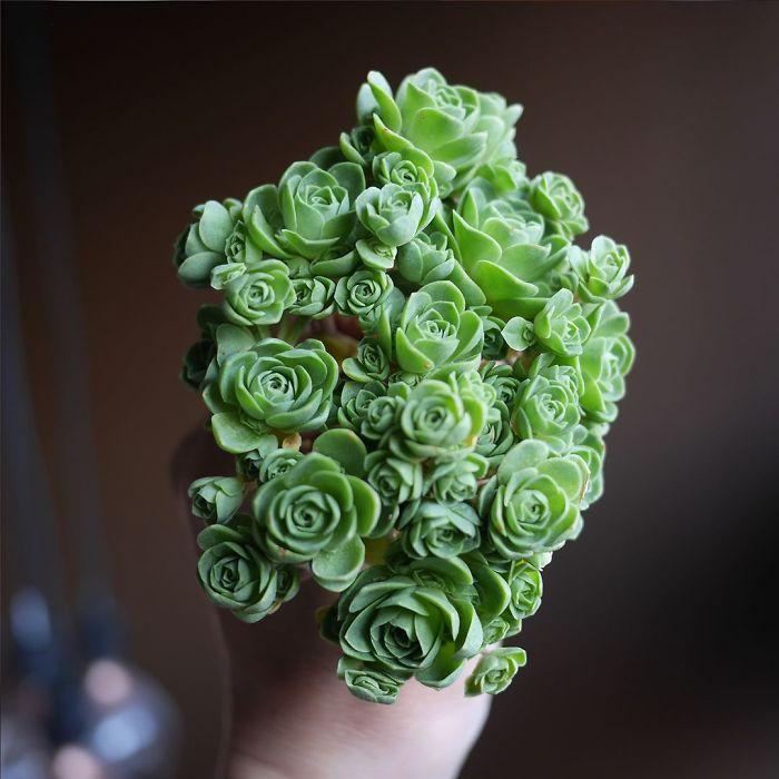 1 2 9 - Estas são as Rosas Verdes, suculentas que parecem que vieram de um conto de fadas