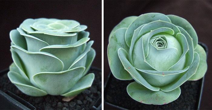 2 2 8 - Estas são as Rosas Verdes, suculentas que parecem que vieram de um conto de fadas