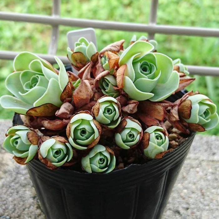 3 1 9 - Estas são as Rosas Verdes, suculentas que parecem que vieram de um conto de fadas