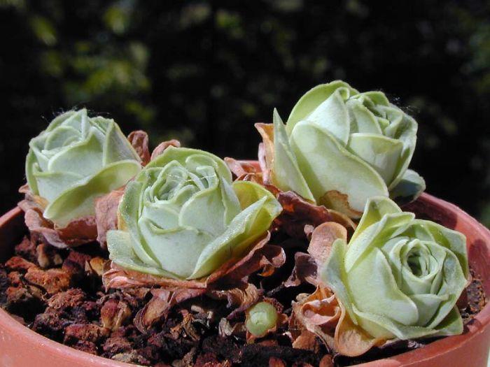 4 7 - Estas são as Rosas Verdes, suculentas que parecem que vieram de um conto de fadas