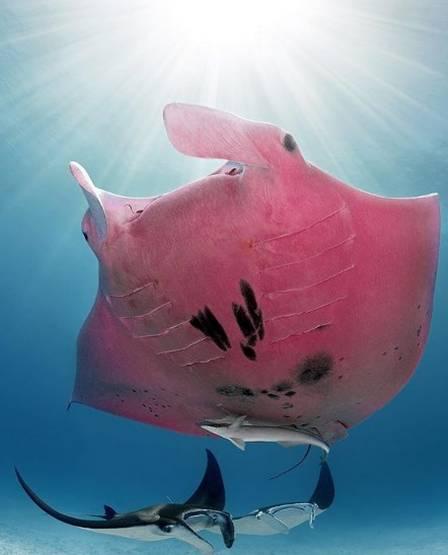 "xblog manta pink.jpg.pagespeed.ic .0y89fNNt5B - ""Única arraia manta rosa do mundo"" foi vista na Austrália"