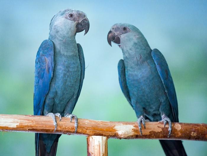 ararinha 00 - Após amargar 20 anos de extinção, Brasil recebeu 50 filhotes de araras azuis