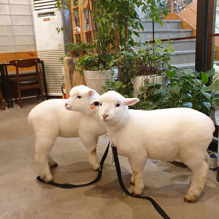 """e 1 - """"Nature Café"""" para quem ama ovelhas e café - Confira!"""
