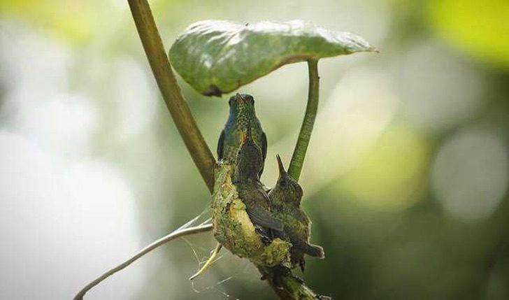 """tmg article tall 3 3 - O beija-flor """"grávida"""" constrói ninho com teto para cuidar de filhotes futuros. Inteligência de mãe"""
