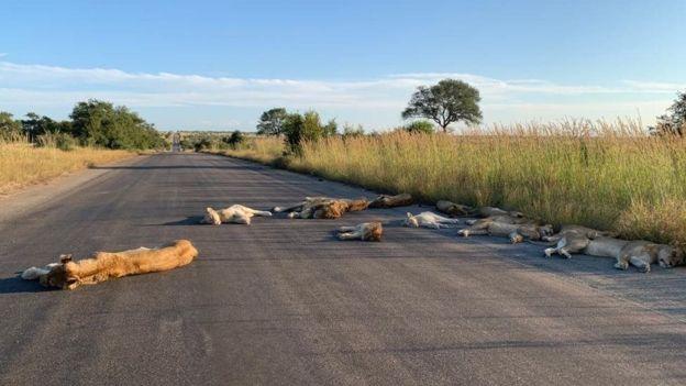 1 1 - Com o bloqueio dos humanos, leões aproveitam a estrada deserta para uma soneca na África do Sul
