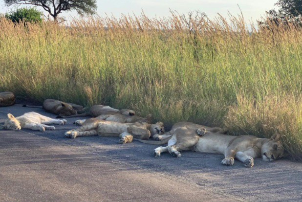 2 1 - Com o bloqueio dos humanos, leões aproveitam a estrada deserta para uma soneca na África do Sul
