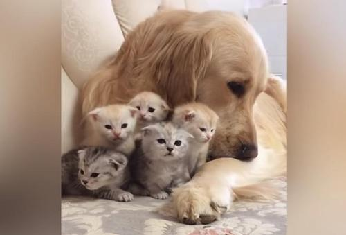 32d5181f5b7a611f853f27c62bebeb81 500x1 - O carinhoso Golden Retriever se apaixonou por uma ninhada de gatinhos