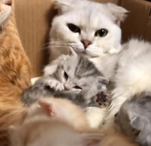 48c25c361b179adc9de50a2d8243fc3c 500x1 - O carinhoso Golden Retriever se apaixonou por uma ninhada de gatinhos