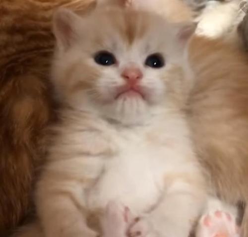 a48b9b4fcd5c80aa8ad519ef2265cd70 500x1 - O carinhoso Golden Retriever se apaixonou por uma ninhada de gatinhos