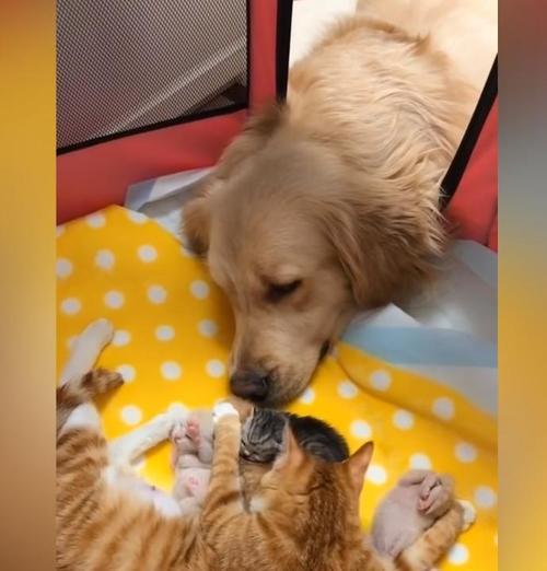 c9c273af4c35793955afa2d2cca18858 500x1 - O carinhoso Golden Retriever se apaixonou por uma ninhada de gatinhos