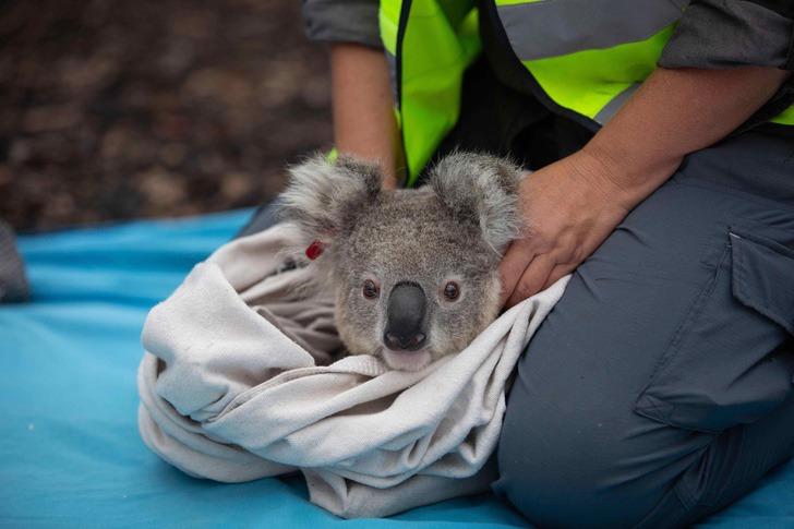 coalas 2 - Os coalas são libertados na natureza após incêndios na Austrália. Não há nada como sua casa !