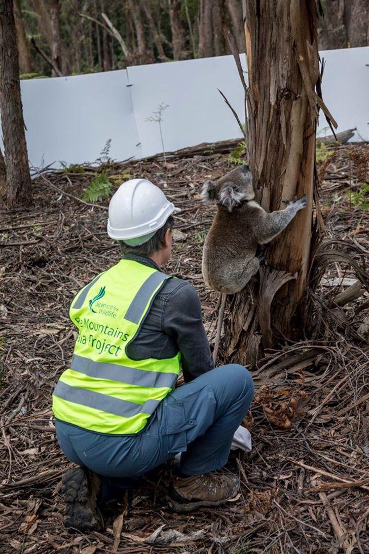 coalas 3 - Os coalas são libertados na natureza após incêndios na Austrália. Não há nada como sua casa !