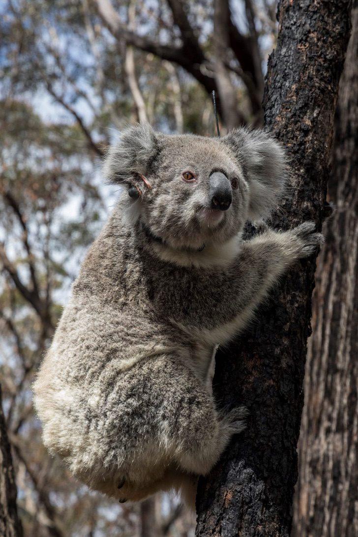 coalas 5 - Os coalas são libertados na natureza após incêndios na Austrália. Não há nada como sua casa !
