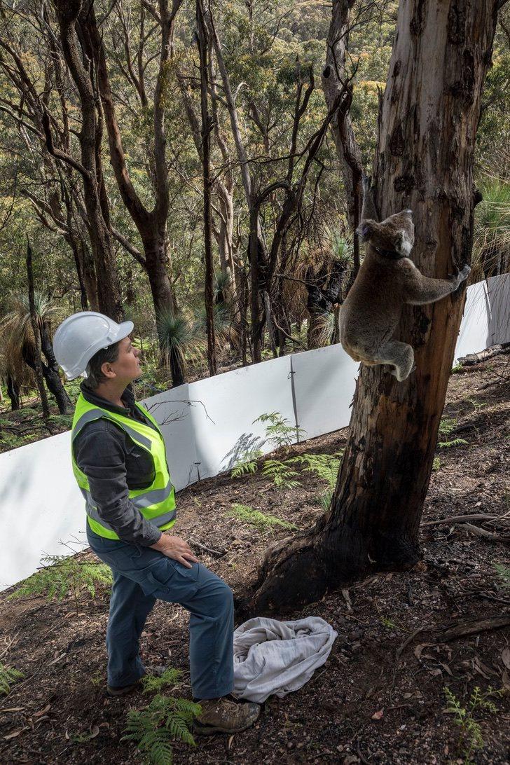 coalas 6 - Os coalas são libertados na natureza após incêndios na Austrália. Não há nada como sua casa !
