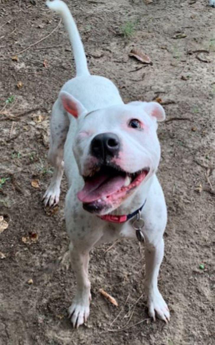 dog shot in head happy - Ele perdeu um olho depois de ser abusado e ainda acredita em humanos. Seu amor é incondicional