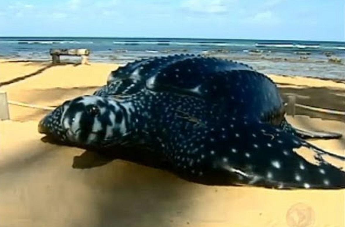 hqdefault - Com a quarentena, tartarugas-gigantes voltam a aparecer e desovar em praias