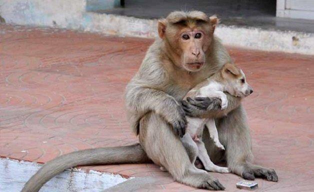 monkey1 - Macaco adotou cachorrinho como se fosse seu filho e nos dá uma lição de vida