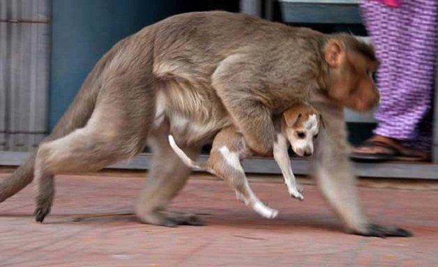 monkey4 - Macaco adotou cachorrinho como se fosse seu filho e nos dá uma lição de vida