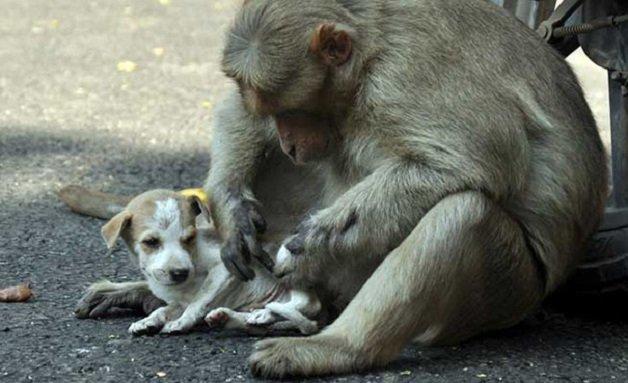 monkey5 - Macaco adotou cachorrinho como se fosse seu filho e nos dá uma lição de vida