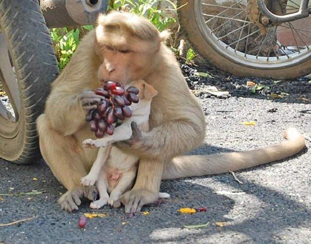 monkey7 - Macaco adotou cachorrinho como se fosse seu filho e nos dá uma lição de vida