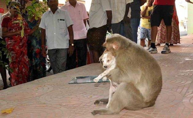 monkey8 - Macaco adotou cachorrinho como se fosse seu filho e nos dá uma lição de vida