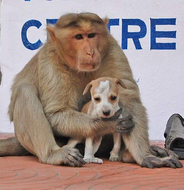 monkey9 - Macaco adotou cachorrinho como se fosse seu filho e nos dá uma lição de vida