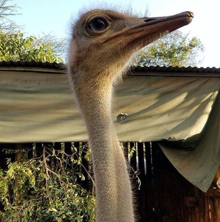 ostrich snuggles orphaned elephants 2 - Elefante órfão se une diariamente com um avestruz para brincar. Ele perdeu a mãe, mas ganhou um amigo!