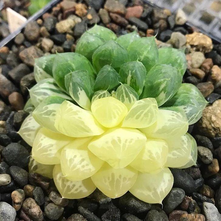 """1 @ flowers.cactus - Encante-se com as """"suculentas de vidro"""" e dê um novo astral ao seu jardim. Obra prima da mãe natureza"""