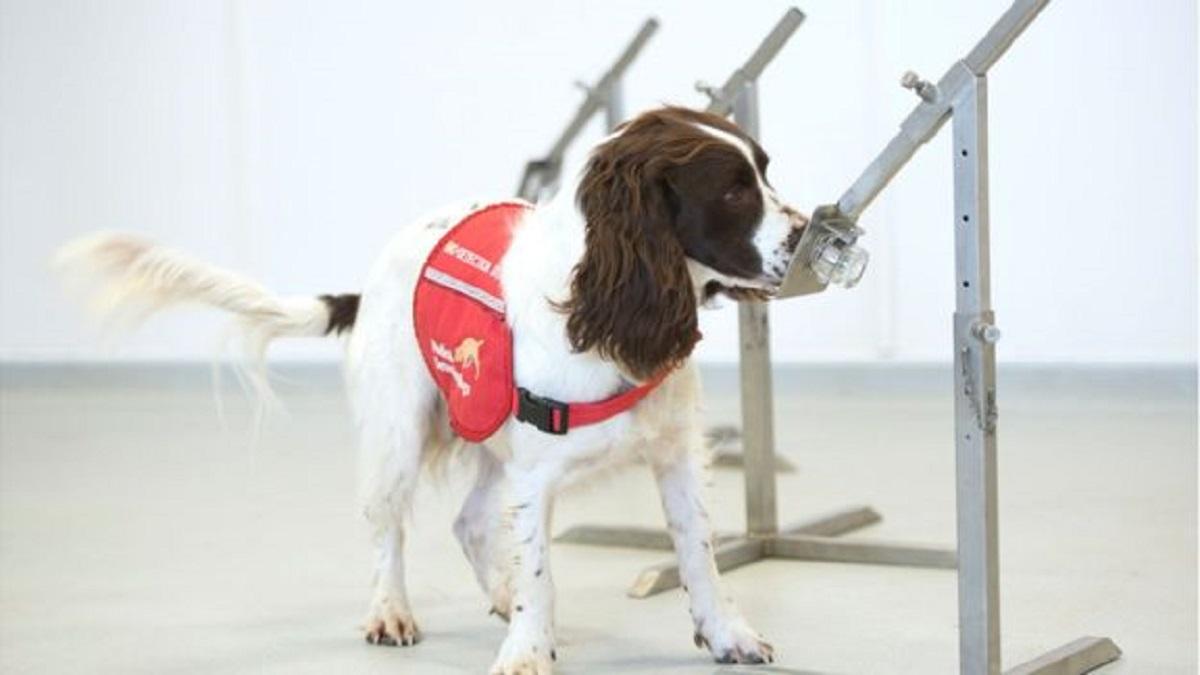 112324965 652cbca7 4ca6 49d3 b36a 52b2e90bc945 - Cães farejadores são treinados para detectar pessoas com Covid-19 pelo cheiro