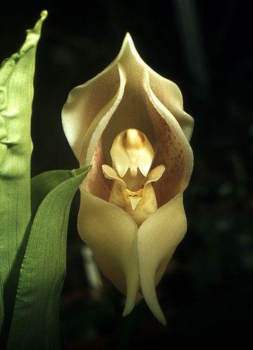 2 - Flores que parecem ter 'bebês dentro' são fantásticas obras da natureza