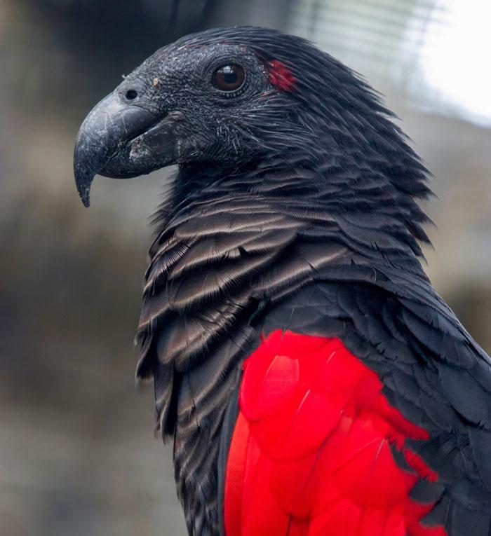 3 2 - Conheça a beleza exótica e mística do papagaio Drácula