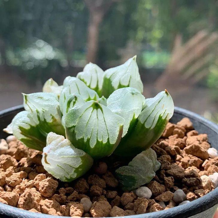 """4 @ muraffe.haworthia - Encante-se com as """"suculentas de vidro"""" e dê um novo astral ao seu jardim. Obra prima da mãe natureza"""