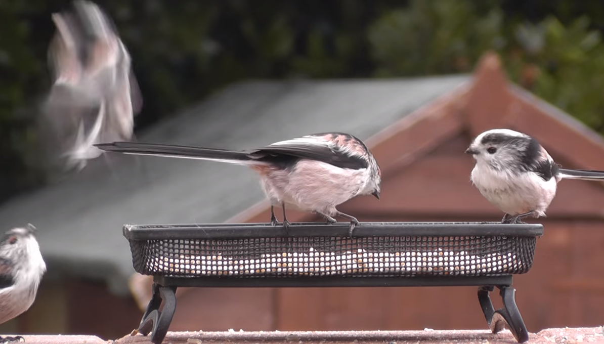 """Captura de Tela 110 - Conheça o passarinho que parece uma """"bolinha de algodão"""" , um dos mais fofos do mundo."""