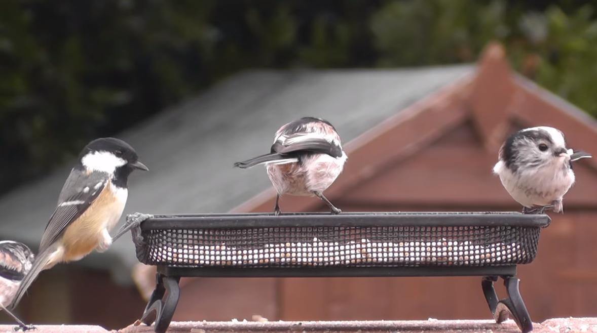 """Captura de Tela 111 - Conheça o passarinho que parece uma """"bolinha de algodão"""" , um dos mais fofos do mundo."""