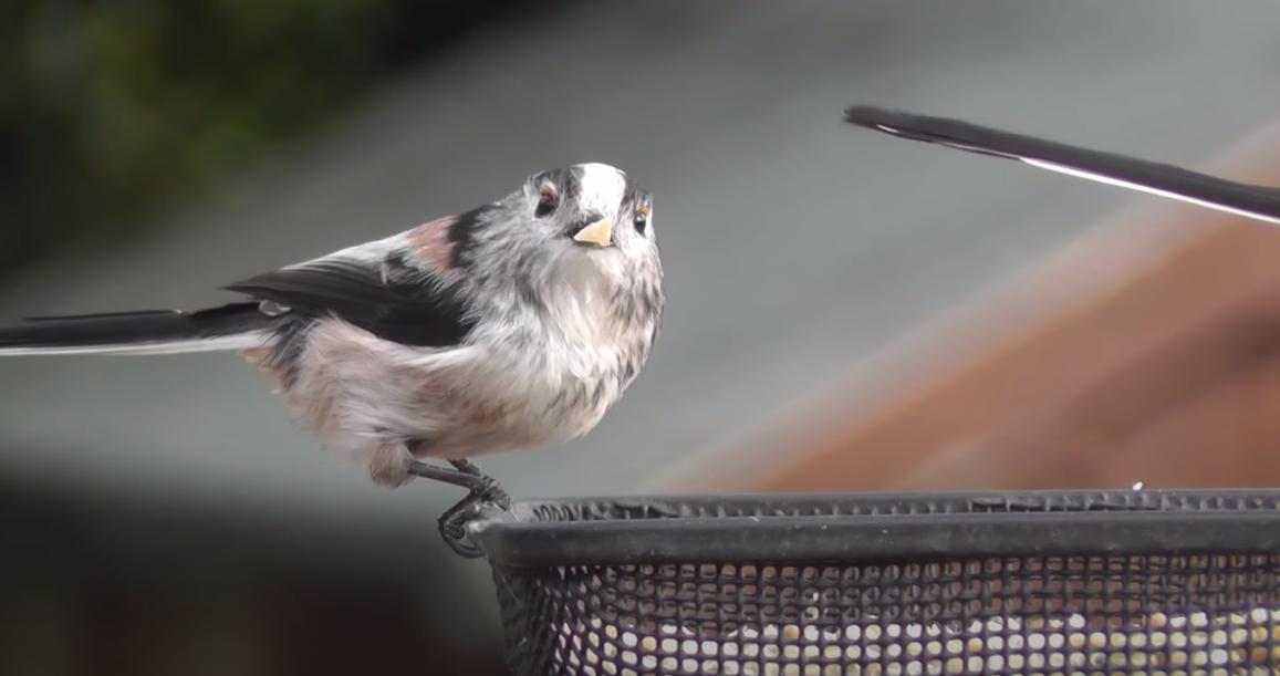 """Captura de Tela 112 - Conheça o passarinho que parece uma """"bolinha de algodão"""" , um dos mais fofos do mundo."""