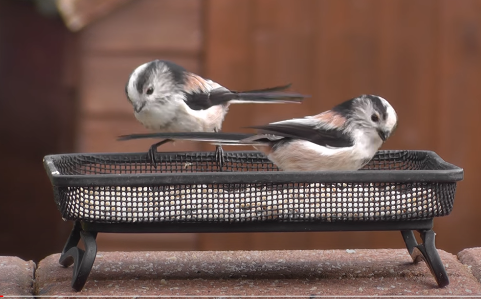 """Captura de Tela 113 - Conheça o passarinho que parece uma """"bolinha de algodão"""" , um dos mais fofos do mundo."""