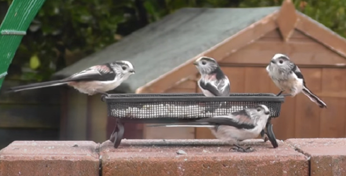 """Captura de Tela 114 - Conheça o passarinho que parece uma """"bolinha de algodão"""" , um dos mais fofos do mundo."""