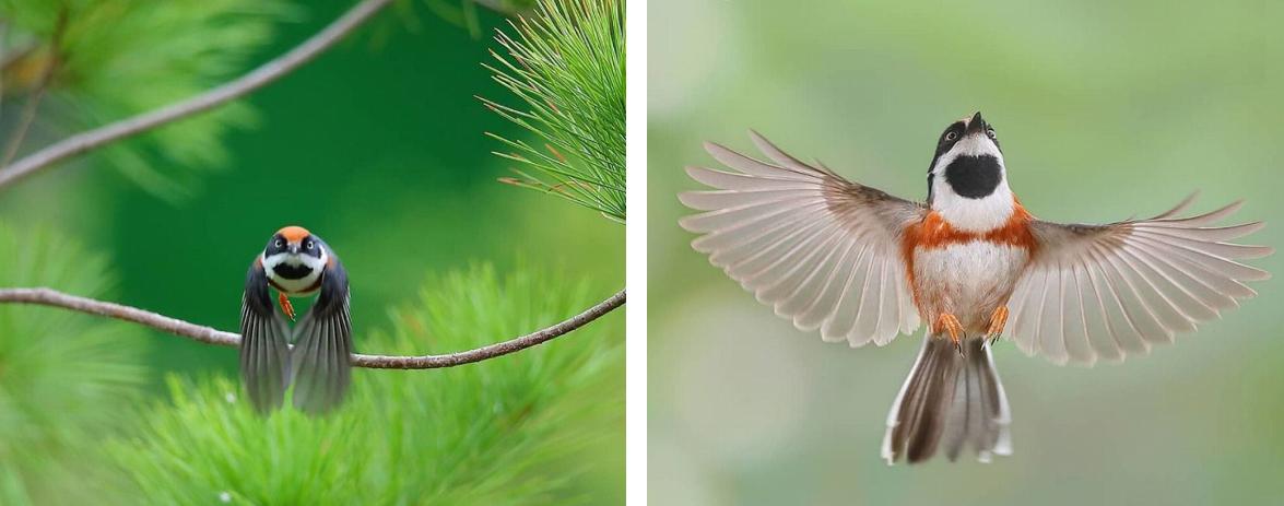 Captura de Tela 240 - Conheça o Bushtit de Garganta Negra, um pássaro raro e de beleza imponente