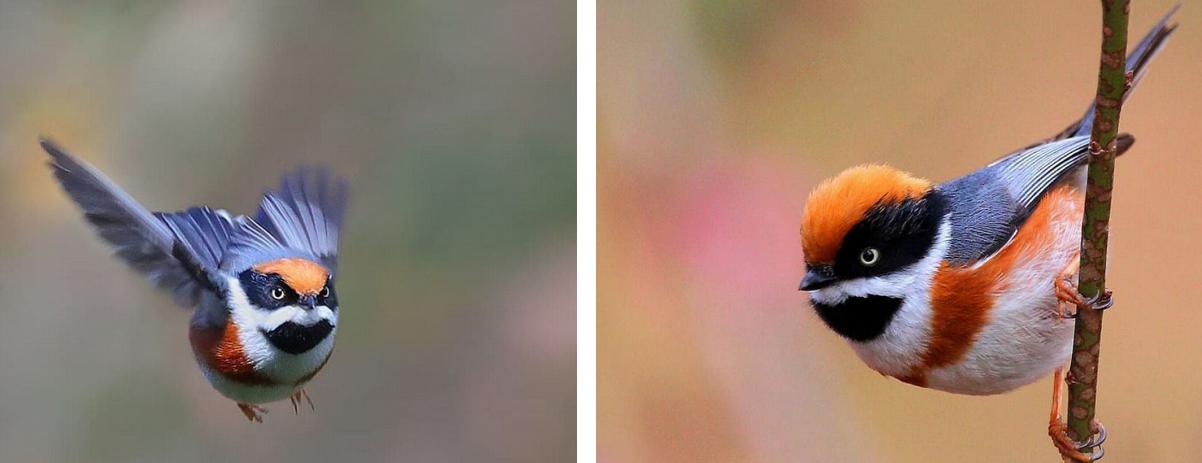Captura de Tela 241 - Conheça o Bushtit de Garganta Negra, um pássaro raro e de beleza imponente