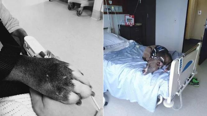 um cachorro salva a vida da sua dona 3 - Cachorrinha salva a vida de sua dona e permanece ao seu lado no quarto do hospital
