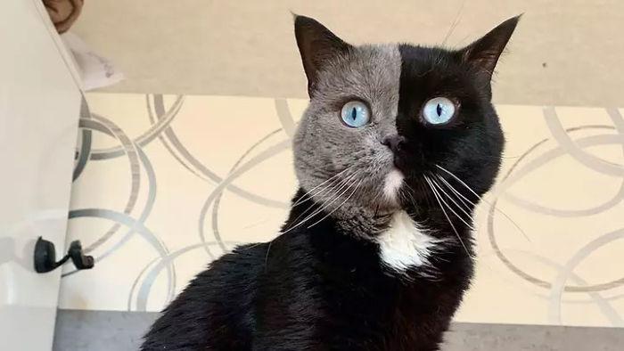 1 1 - Gato com rosto de cores divididas torna-se pai de gatinhos em cada uma de suas cores
